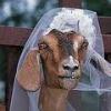 BruidGeitje.jpg