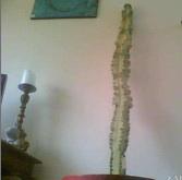 cactusvangoghus.jpg