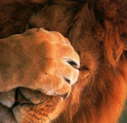 facepalmende-leeuw.jpg