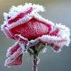 frozenroses.jpg