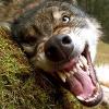 geldwolf.png