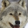 grijswolf100.jpg