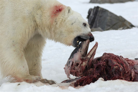 ijsbeereetdolfijn.jpg