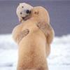 ijsberen.jpg