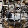 kooiwolf.jpg