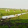 polderlandschapmetkoeienschijt.jpg